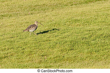 Curlew - A Curlew feeding on grassland marsh in the south of...