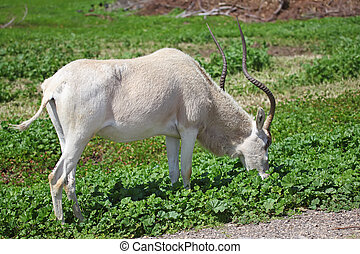 Oryx - Horned Oryx eating grass in zoo