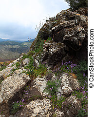 Golan Heights - Wild Flowers growing out of a rock . Golan...