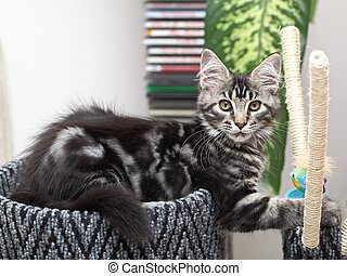 Beautiful Maine Coon kitten - Cute maine coon kitten 2...