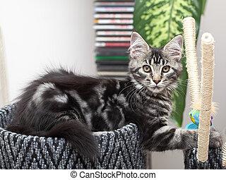 Beautiful Maine Coon kitten - Cute maine coon kitten 2...