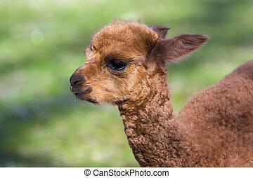 Alpaca baby - Alpaca Lama or vicugna pacos calf