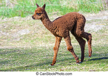 Alpaca baby - Alpaca (Lama or vicugna pacos) calf