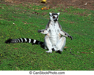 Ring-tailed Lemur - Lemur of ring-shaped tail taking up a...
