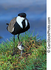 Lapwing and young baby bird - Lapwing with nestling ( baby...