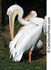 Pelecanus - White pelican Pelecanus onocrotalus standing on...