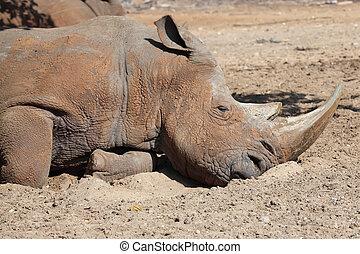 rinoceronte, dormir, jardim zoológico