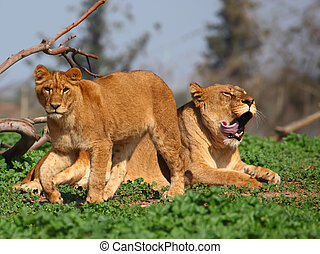 Lioness And Young Lion - Lioness and young lion resting in...
