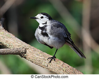 White Wagtail Motacilla alba standing on one leg