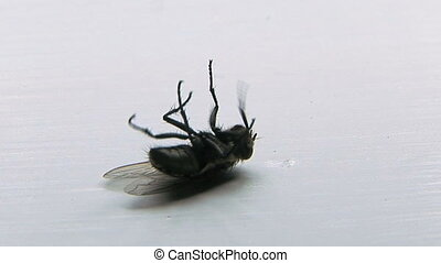 Dying Fly - Common house fly, (Musca domestica) laying on...