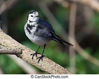 White Wagtail Motacilla alba sitting on a dry branch