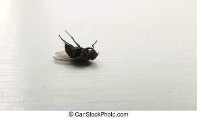 Dying Fly - Common house fly, Musca domestica laying on...