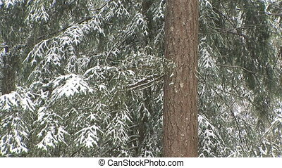 Snow Fall - Snow falling on trees, S.E. Washington