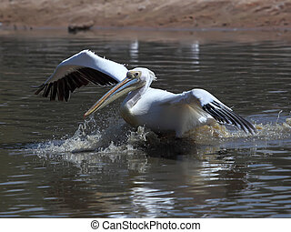 pelecanus - Great White Pelican taking off from water