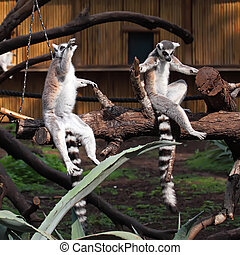 funny image of two ring-tailed lemurs