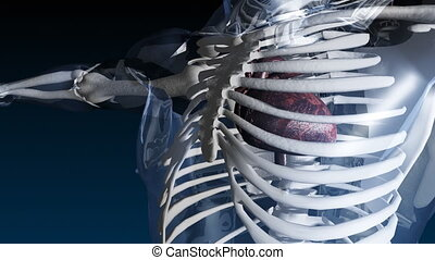 Skelleton with beating heart - Medical Animation of a...