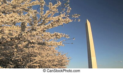 Washington Monument through the Cherry trees, Washington, DC...