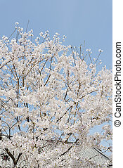 springtime cherry tree against the clear blue sky
