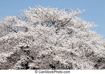 Big cherry blossom tree against the clear blue sky