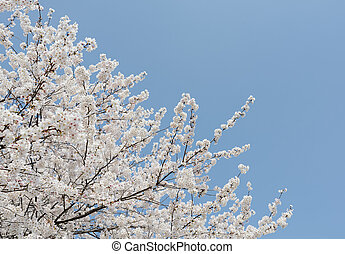 springtime blooming cherry tree - springtime cherry tree...