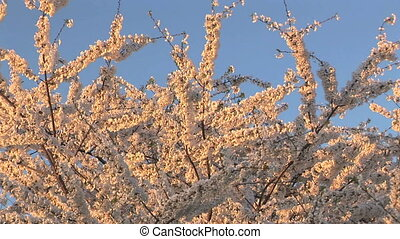 Cherry Blossoms - Zoom in of Cherry Trees in Full Blossom at...