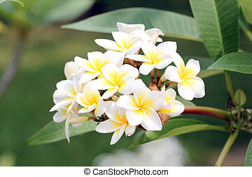 bouquet of yellow plumeria or frangipani flower - bouquet of...