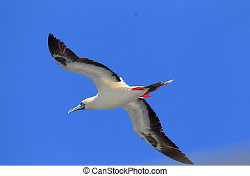 Red-footed Booby (Sula sula) in Japan