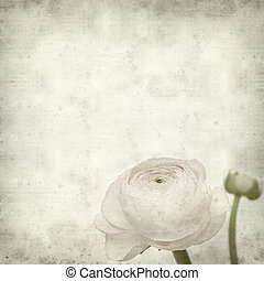 textured old paper background with pale pink ranunculus,...
