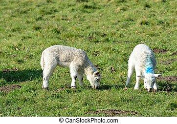 Pair of Lambs in Field