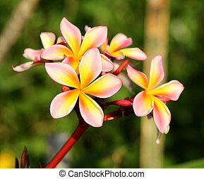 bright beautiful flower plumeria - bright, sunlit flower...