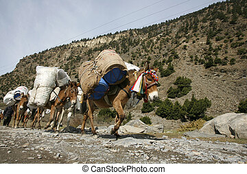 donkeys carrying heavy loads, annapurna, nepal