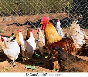 Rooster and hens in the house poultry - Rooster and hens in...