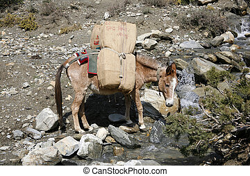 donkey - Donkey carrying heavy loads, annapurna, nepal