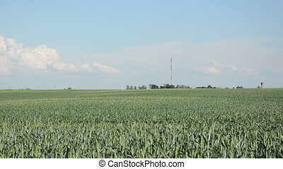 woman rye field - beautiful young blonde woman on a sunny...