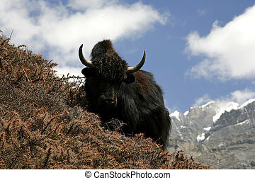 yak - wild yak in himalayas, annapurna, nepal