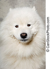 Face of samoyed dog - Samoyed dog with happy face