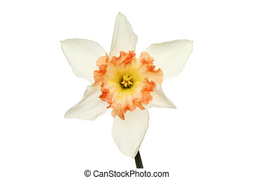 White daffodil - Daffodil flower with white petals and a...