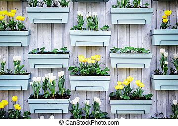 Wooden wall with spring tulips