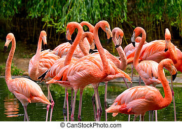 Group of red flamingos at the water, with green foliage in...