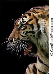 Fierce - Closeup of an aggressive Sumatran Tiger against a...