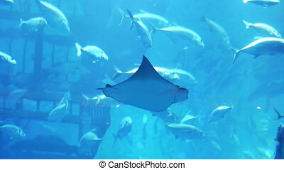 Stingray in aquarium in Dubai Mall