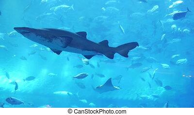 Shark in aquarium in Dubai Mall