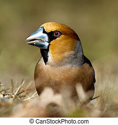 Hawfinch Portrait - The Hawfinch (Coccothraustes...