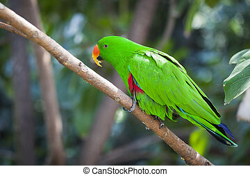 Male Indonesian Eclectus Parrot on a Tree Branch.