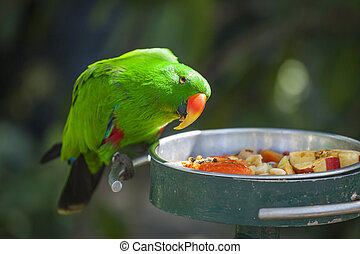 Male Indonesian Eclectus Parrot Feeding.