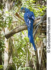 el, Puesto peligro, jacinto, papagallo, sur, América
