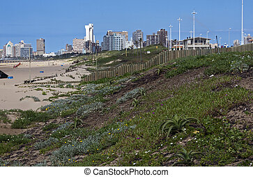dune rehabilitation of Durban beachfront with buildings in background