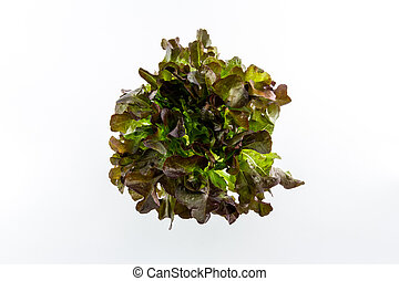 Red Oak - Red Oak salad isolated on the white background