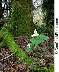 Pacific Trillium in the Forest - A Pacific Trillium in the...