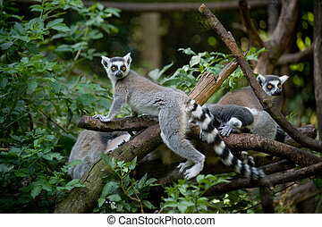 Ring-tailed Lemur - A family of Ring-tailed Lemurs in the...